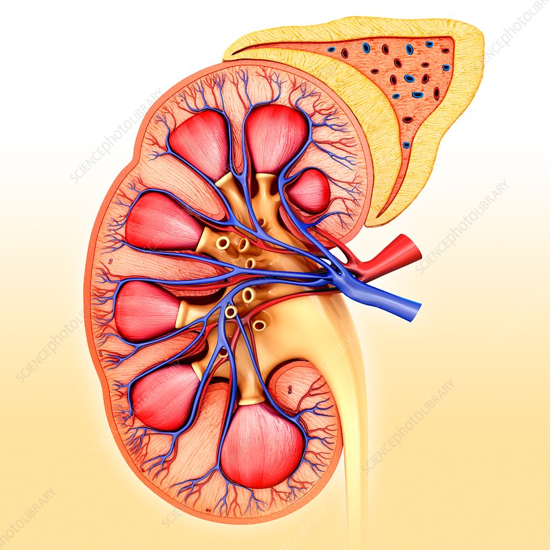 Kidney cross-section, illustration