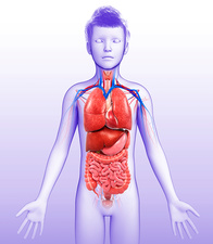 Child's body organs, illustration