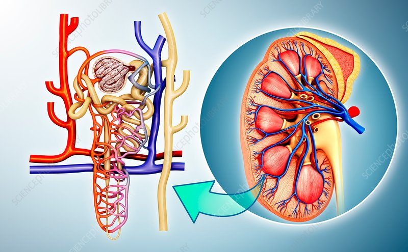 Nephron structure in a kidney, illustration