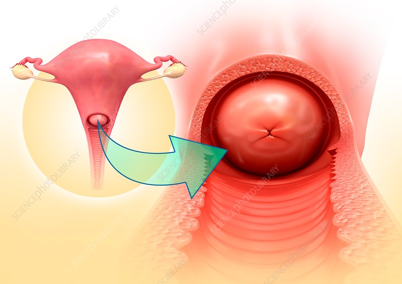 Cervix anatomy, illustration