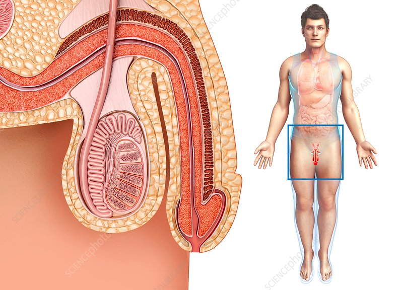 Male reproductive system, illustration