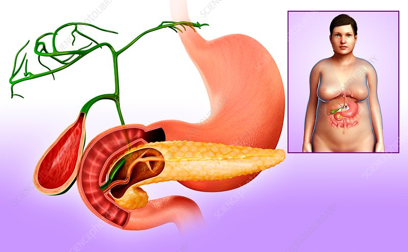 Gallbladder, duodenum and pancreas, illustration