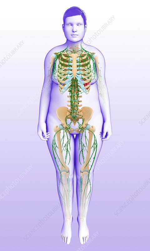 Female skeletal and lymphatic system, illustration