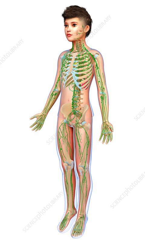 Boy skeletal and lymphatic systems, illustration