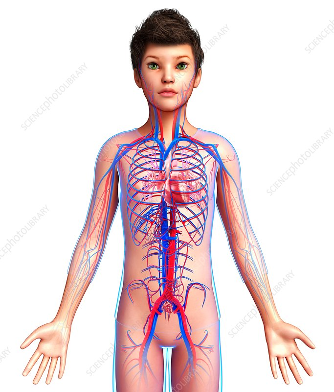 Boy's cardiovascular system, illustration