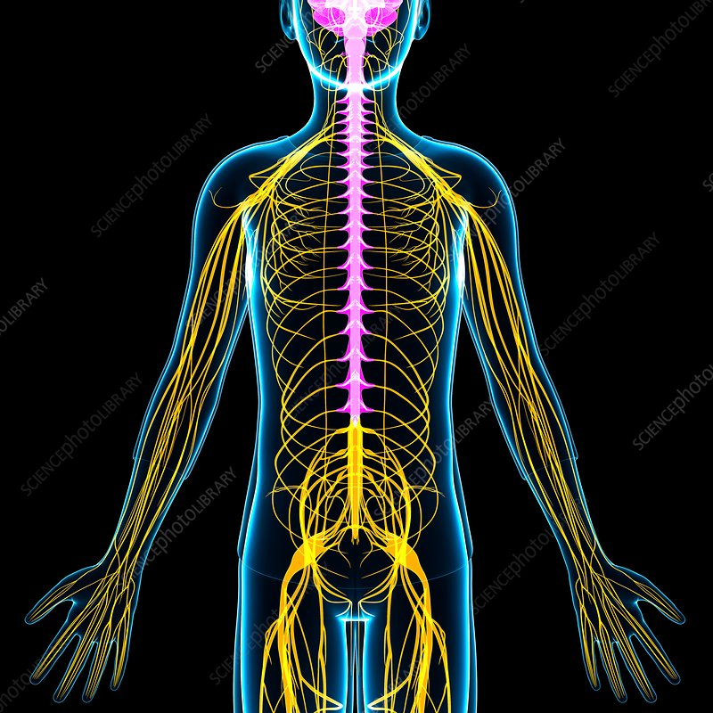 Boy's nervous system, illustration