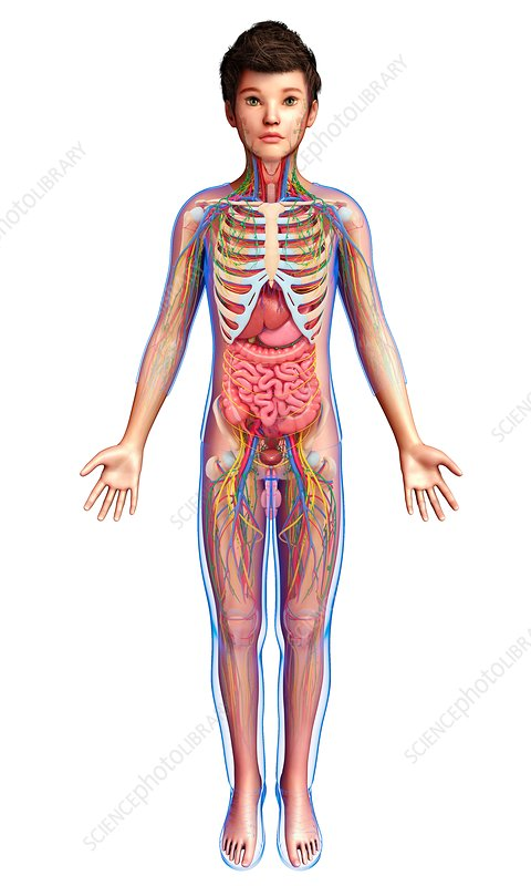 Teenage boy anatomy, illustration