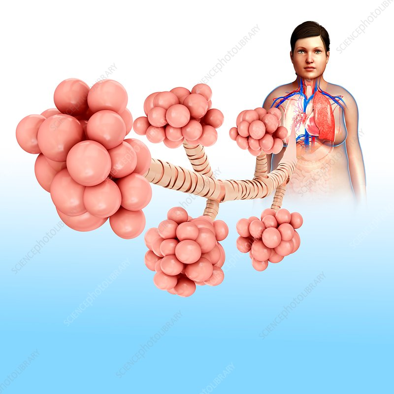 Alveoli, illustration