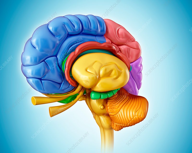 Human brain anatomy, illustration
