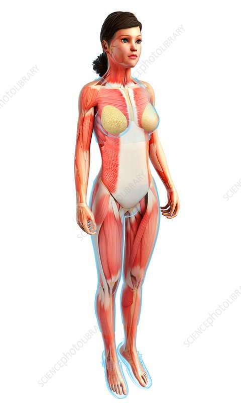 Female musculature, illustration