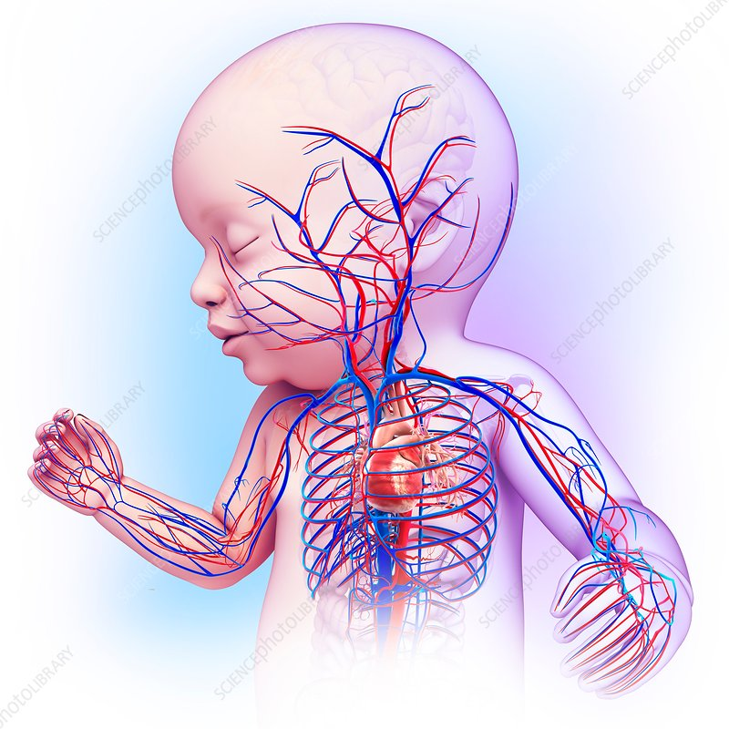 Baby's cardiovascular system, illustration