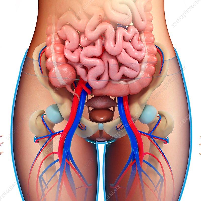 Female Pelvic Anatomy Illustration Stock Image F0180978