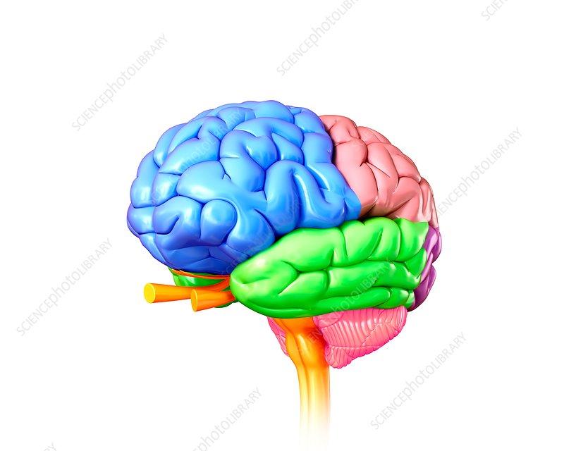 Human brain regions, illustration