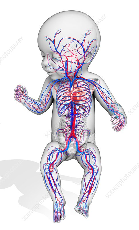 Baby's circulatory system, illustration