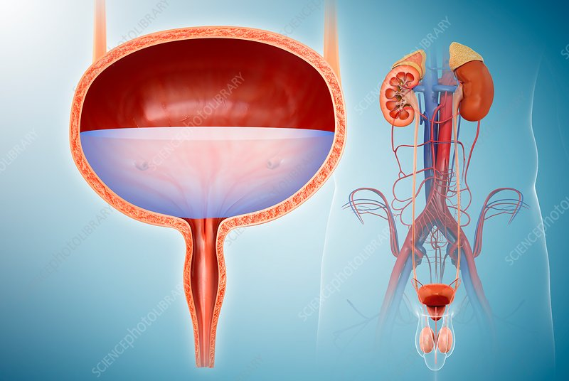 Male bladder and urinary system, illustration
