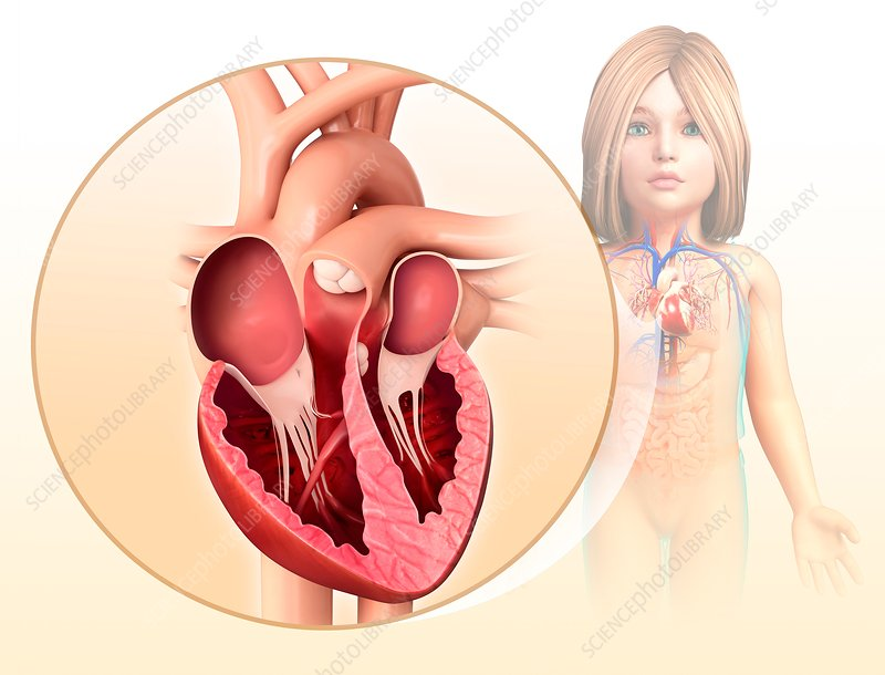 Child's heart chambers, illustration