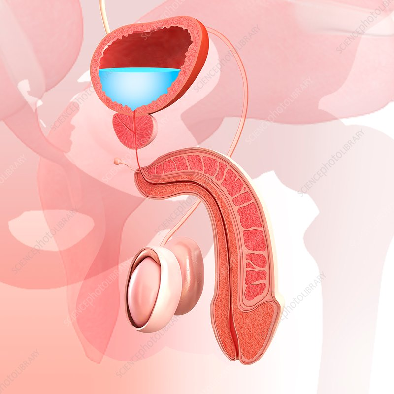 Male urinary system, illustration