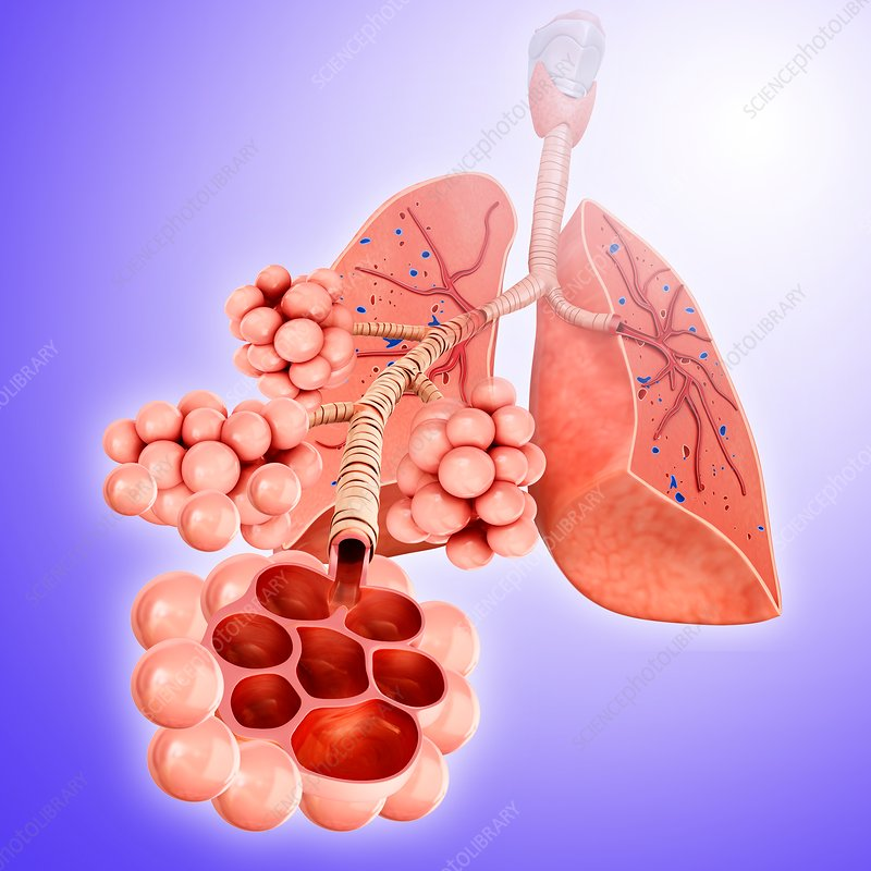 Alveoli of the lungs, illustration