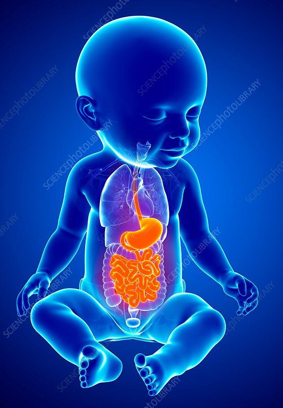 Baby's digestive system, illustration
