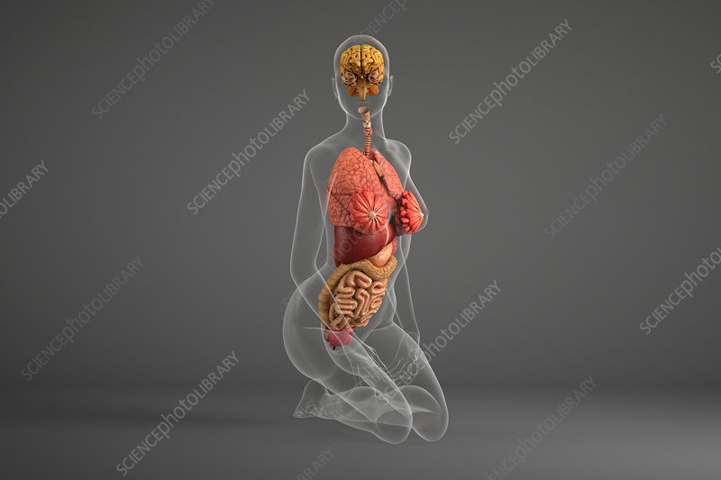 Human internal organs of person kneeling