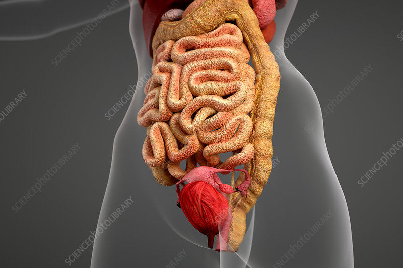 Female anatomy and digestive system