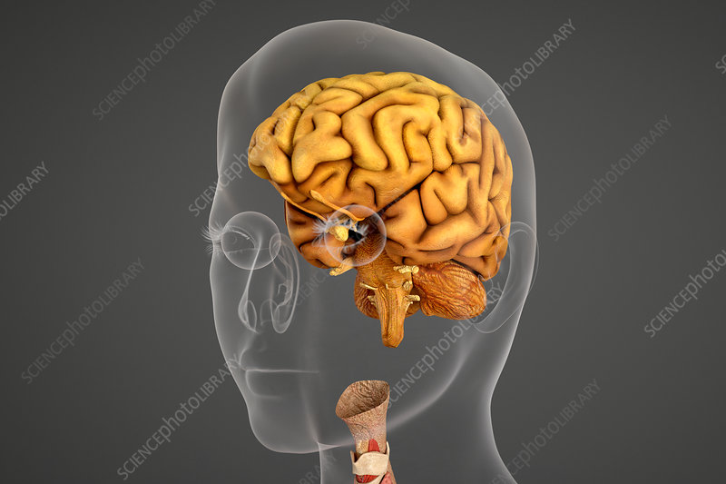 Human brain and eye socket