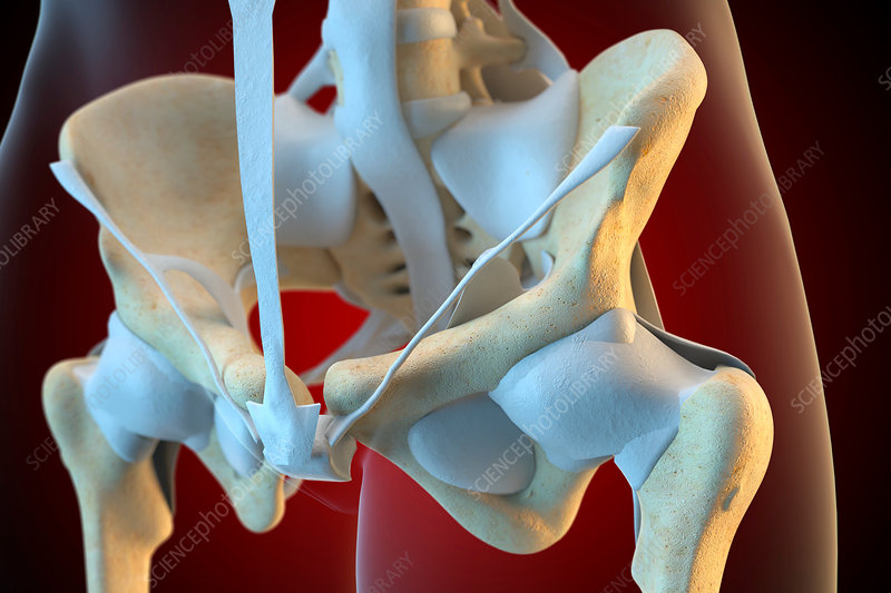 Ligaments of the human pelvis