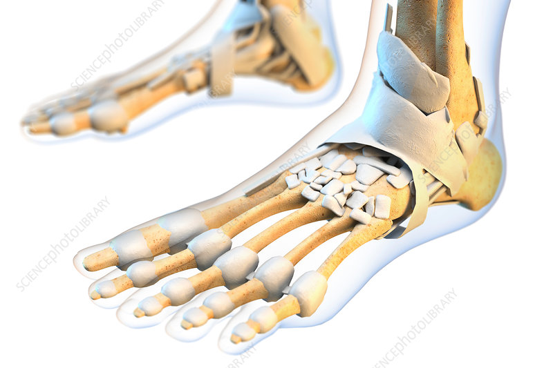 Ligaments of the human foot