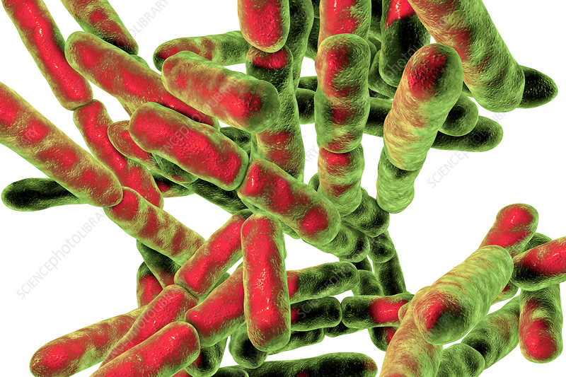 Bifidobacterium bacteria, illustration