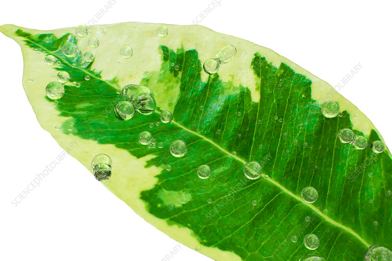 Water drops on Ficus leaf, illustration