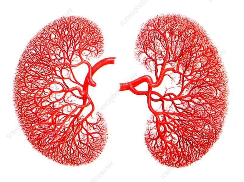 Kidneys, blood supply, artwork