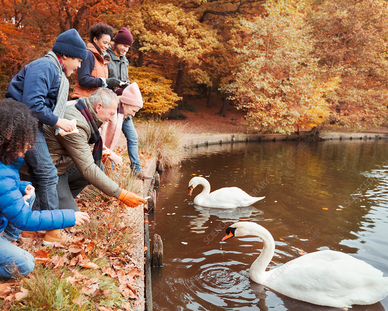 Family feeding swans at pond in autumn park