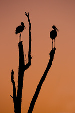 Silhouette of two storks