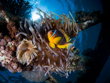 Clownfish in a Sea Anemone