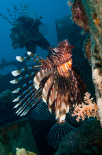 Common Lionfish or devil firefish