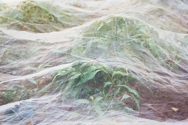 Horticultural fleece covering a growing crop