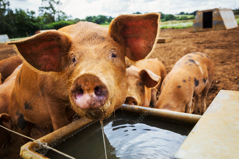 Three pigs in a field, one drinking from a trough