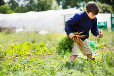 A boy picking carrots in a vegetable patch