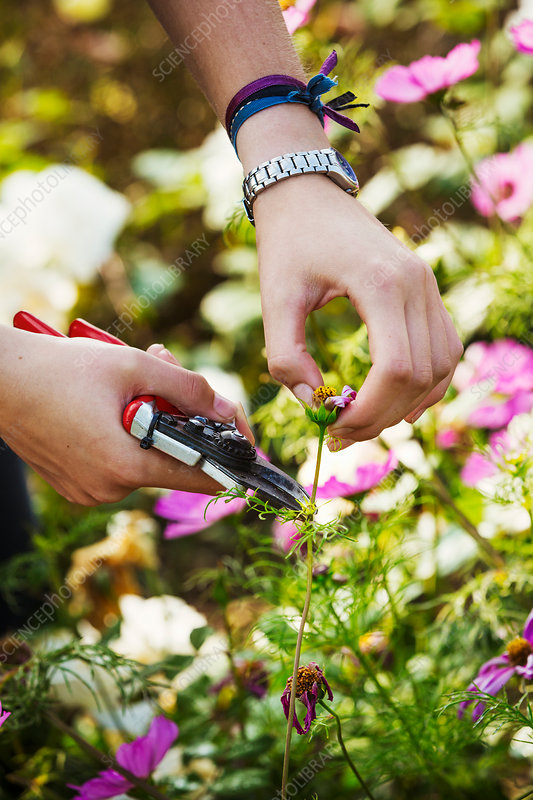 Close up of gardener cutting a flower at Waterperry Gardens