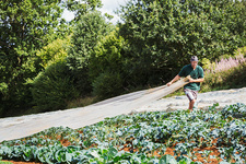A man pulling sheet of horticultural fleece over curly kale