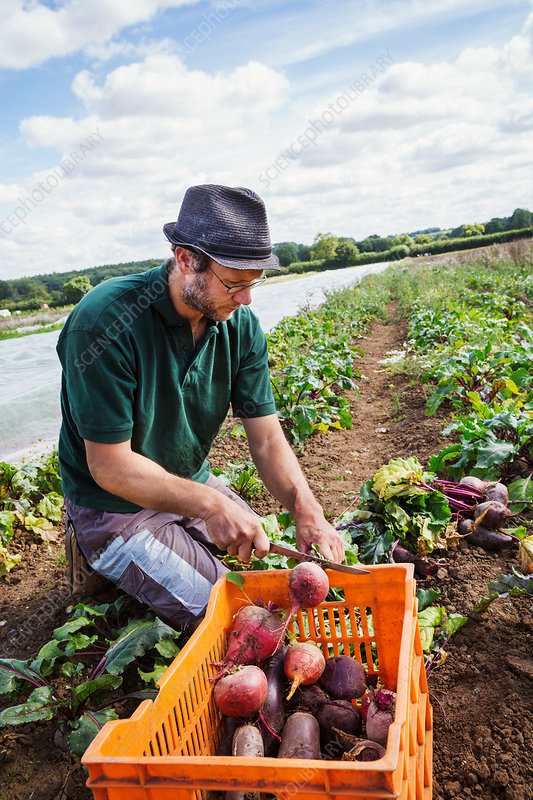 A man bending and harvesting beetroots in a field