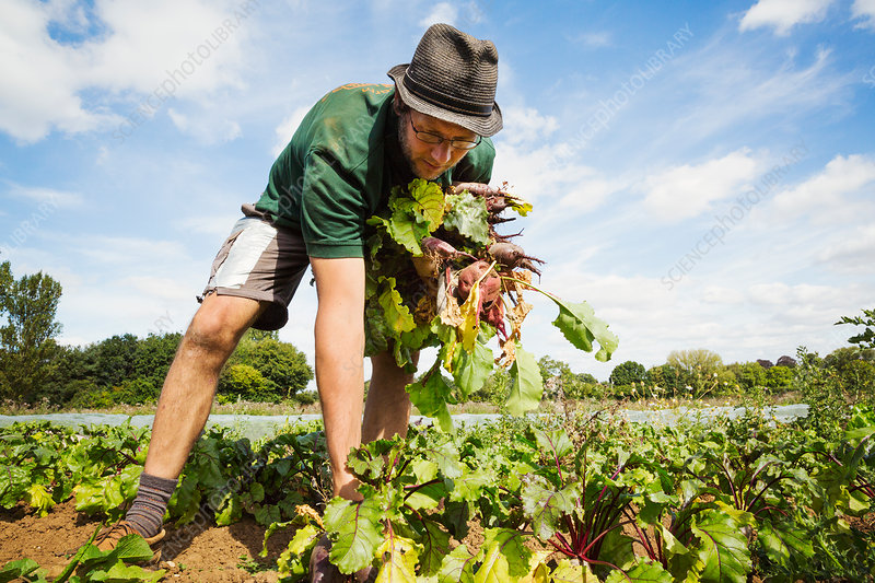 A man working in a field, pulling glossy red beetroots