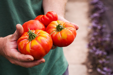 A person holding freshly picked striped beefsteak tomatoes