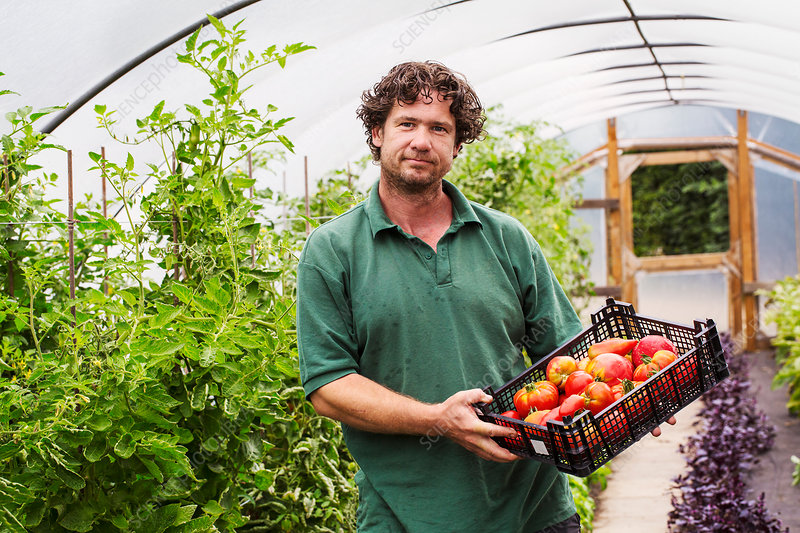 Male gardener in a polytunnel picking tomatoes