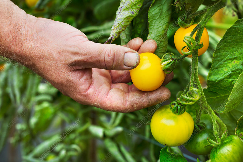 A gardener picking yellow ripe tomatoes