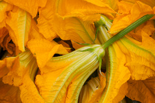 Yellow courgette flowers