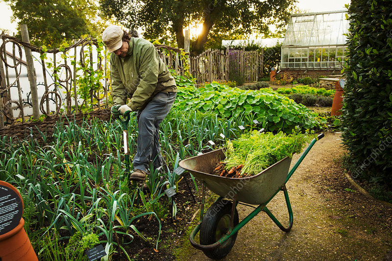 A person digging with a spade in a vegetable garden