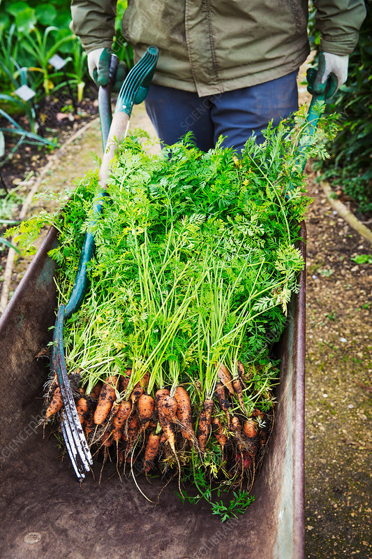 A gardener with a wheelbarrow of fresh pulled carrots