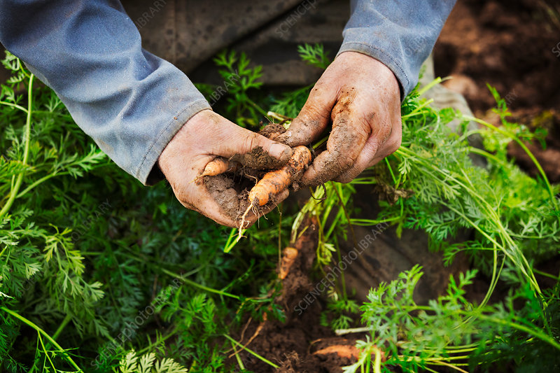 A person lifting and cleaning carrots in a field