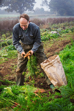 A man lifting and sorting carrots into a sack in the field